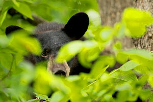 RF - Black Bear Cub (Ursus americanus) hiding. Minnesota, USA. June. (This image may be licensed either as rights managed or royalty free.) - Danny Green