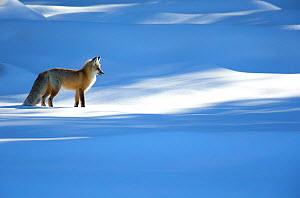 RF - Red fox (Vulpes vulpes) in dappled light on snow, Yellowstone National Park, USA, February 2016 (This image may be licensed either as rights managed or royalty free.) - Danny Green
