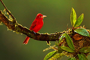 Summer tanager (Piranga rubra) adult male, Sarapiqui, Costa Rica. Small repro only. - Melvin Grey