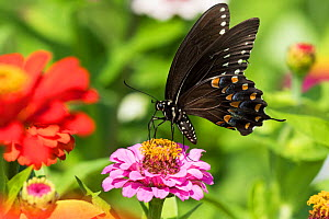 RF - Spicebush Swallowtail Butterfly (Papilio troilus) nectaring on Zinnia in farm garden, wild and free. Madison, Connecticut, USA. (This image may be licensed either as rights managed or royalty fre... - LYNN M. STONE