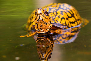 RF - Male  Eastern Box Turtle (Terrapene carolina carolina) in wetland stream. East Haddam, Connecticut, USA. (This image may be licensed either as rights managed or royalty free.)  -  LYNN M. STONE