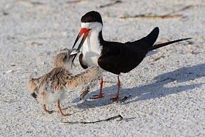 RF - Black Skimmer (Rynchops niger) adult feeding fish to chick in nesting colony on upper beach of Gulf of Mexico shore. Sarasota, Florida, USA. (This image may be licensed either as rights managed o... - LYNN M. STONE