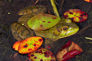 RF - Bullfrog (Lithobates catesbeiana) in pond shallows, among late season lily pads, September. Connecticut, USA. (This image may be licensed either as rights managed or royalty free.)  -  LYNN M. STONE