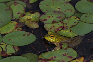 RF - Young Bullfrog (Lithobates catesbeiana) at edge of pond amongst late season lily pads, September, Connecticut, USA. (This image may be licensed either as rights managed or royalty free.)  -  LYNN M. STONE