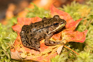 Juvenile Green Frog (Lithobates clamitans) on moss, Connecticut, USA  -  Lynn M. Stone