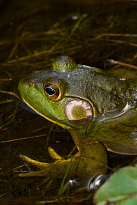 Bullfrog (Lithobates catesbeiana) in pond shallows, among lily pads, Connecticut, USA  -  Lynn M. Stone