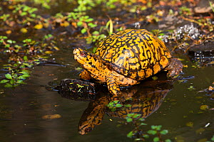 Male Eastern Box Turtle (Terrapene carolina carolina) crossing a shallow forest stream, Connecticut, USA.  -  Lynn M. Stone