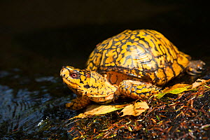 Male Eastern Box Turtle (Terrapene carolina carolina) crossing a shallow forest stream; Connecticut, USA.  -  Lynn M. Stone