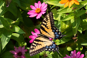 Eastern Tiger Swallowtail Butterfly (Papilio glaucus) nectaring on flower in farm garden, Connecticut, USA - Lynn M. Stone