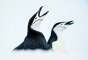 RF - Chinstrap Penguins (Pygoscelis antarcticus) once calling, South Shetland Islands, Antarctica Continent. (This image may be licensed either as rights managed or royalty free.) - Inaki  Relanzon