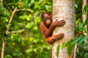 RF - Young Bornean orangutan (Pongo pygmaeus) in tree. Tanjung Puting National Park, Borneo-Kalimatan, Indonesia. Endangered species. (This image may be licensed either as rights managed or royalty fr...  -  Inaki  Relanzon