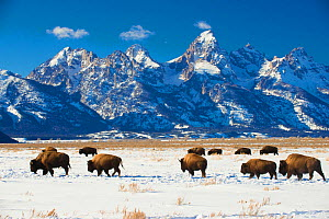 RF - American bisons (Bison bison) in Grand Teton National Park. winter. Wyoming, USA. (This image may be licensed either as rights managed or royalty free.)  -  Inaki  Relanzon