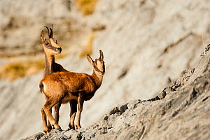 RF - Chamois (Rupicapra rupicapra), Ordesa national Park, Pyrenees, Spain. (This image may be licensed either as rights managed or royalty free.) - Inaki  Relanzon