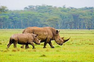RF - White rhino (Ceratotherium simum) mother and calf, Nakuru National Park, Kenya. (This image may be licensed either as rights managed or royalty free.) - Inaki  Relanzon