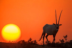 Arabian Oryx (Oryx leucoryx) at sunset. Previously extinct in the wild, their conservation status is now stable thanks to conservation efforts.This male is part of a reintroduction program in Dubai, U...  -  Inaki  Relanzon