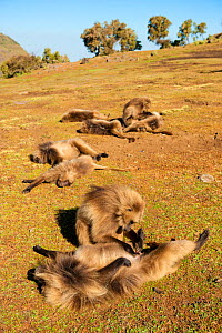 Geladas (Theropithecus gelada) grooming and resting, one inspecting penis, Simien Mountains National Park, Ethiopia.  -  Inaki  Relanzon
