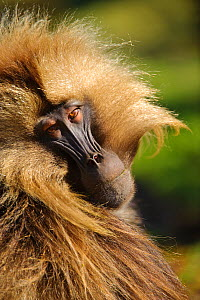 Close up of Gelada (Theropithecus gelada) looking over shoulder, Simien Mountains National Park, Ethiopia. - Inaki  Relanzon