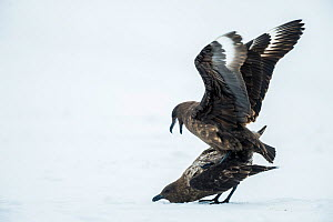 Antarctic / Brown skua (Catharacta antarctica) pair mating, Antarctic Peninsula, Weddell Sea. - Inaki  Relanzon