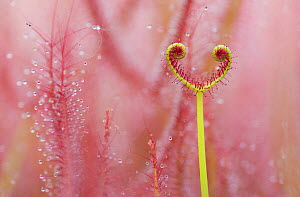RF - Sundew (Drosera binata) carnivorous plant. Occurs in Australia and New Zealand. Botanic Garden Leiden Botanical Garden, the Netherlands (This image may be licensed either as rights managed or roy...  -  Edwin  Giesbers