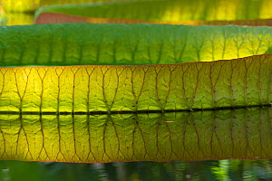 RF - Giant waterlily (Victoria amazonica) leaf floating on water with reflection. Occurs in the Amazon Basin. Botanic Garden Meise, Belgium. (This image may be licensed either as rights managed or roy...  -  Edwin  Giesbers