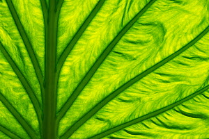 RF - Leaf of Chinese taro (Alocasia cucullata) backlit to show veins. Occurs in Asia. Botanic Garden Meise, Belgium, August. (This image may be licensed either as rights managed or royalty free.) - Edwin  Giesbers