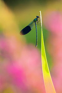 RF - Banded demoiselle (Calopteryx splendens) male. Netherlands, August. (This image may be licensed either as rights managed or royalty free.)  -  Edwin  Giesbers