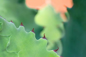 RF - Agave plant (Agave potatorum) close up of leaves and spines. Occurs in Mexico. Botanic Garden Amsterdam, Netherlands, August. (This image may be licensed either as rights managed or royalty free....  -  Edwin  Giesbers