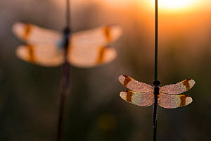 RF - Banded darter (Sympetrum pedemontanum) resting in the evening, Netherlands, July. (This image may be licensed either as rights managed or royalty free.)  -  Edwin  Giesbers