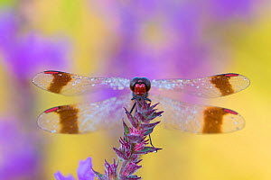 RF - Banded darter (Sympetrum pedemontanum) on flower, Netherlands (This image may be licensed either as rights managed or royalty free.)  -  Edwin  Giesbers