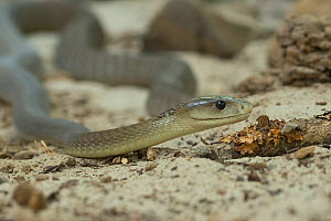 RF - Black mamba (Dendroaspis polylepis) captive, occurs in Africa. (This image may be licensed either as rights managed or royalty free.)  -  Edwin  Giesbers
