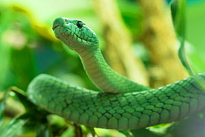 RF - Eastern green mamba (Dendroaspis angusticeps) captive, occurs in East Africa. (This image may be licensed either as rights managed or royalty free.)  -  Edwin  Giesbers