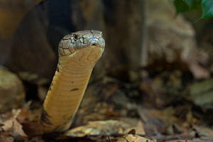 RF - King Cobra (Ophiophagus hannah) captive, occurs in Asia. (This image may be licensed either as rights managed or royalty free.)  -  Edwin  Giesbers