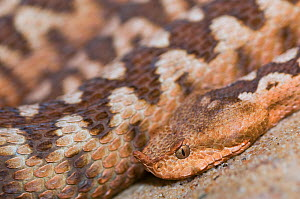 RF - Sand or European horned viper (Vipera ammodytes) captive, occurs in Europe. Venomous species. (This image may be licensed either as rights managed or royalty free.)  -  Edwin  Giesbers