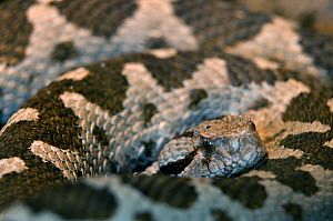 RF - Ottoman viper (Vipera xanthina) captive occurs in Turkey and Greece. (This image may be licensed either as rights managed or royalty free.)  -  Edwin  Giesbers