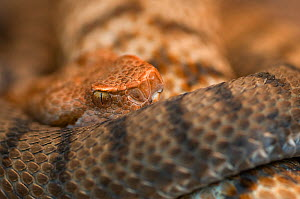 RF - Asp viper (Vipera aspis) captive, occurs in Europe. (This image may be licensed either as rights managed or royalty free.)  -  Edwin  Giesbers