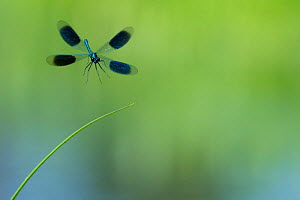 RF - Banded demoiselle (Calopteryx splendens) landing, Netherlands (This image may be licensed either as rights managed or royalty free.)  -  Edwin  Giesbers