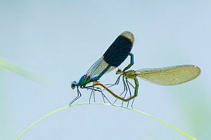 RF - Banded demoiselle (Calopteryx splendens) pair mating, Netherlands, July. (This image may be licensed either as rights managed or royalty free.)  -  Edwin  Giesbers