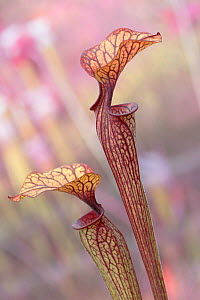RF - Crimson pitcherplant (Sarracenia leucophylla) endemic to the Southeastern United States. Botanic Garden Leiden, Netherlands, July. (This image may be licensed either as rights managed or royalty...  -  Edwin  Giesbers