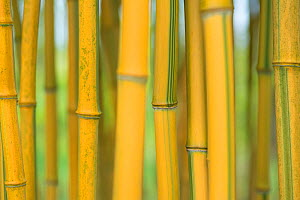 Bamboo (Phylostachys aureosulcata) occurs in the Zhejiang Province of China. Utrecht University Botanic Gardens, the Netherlands, May. - Edwin  Giesbers