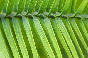 Close up of needles of Wollemi pine (Wollemia nobilis) TU Delft Botanical Garden, Netherlands, August. Critically endangered species previously only known from fossil record. - Edwin  Giesbers