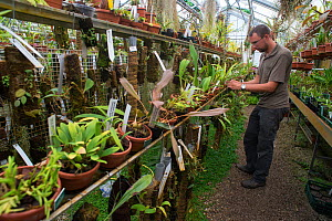 Botanist working with orchids  in greenhouse, Botanic Garden Leiden, Netherlands, July.  -  Edwin  Giesbers