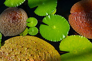 Variety of Lily pads of different size and colour, Botanic Garden Meise, Belgium, Augus 2013.  -  Edwin  Giesbers