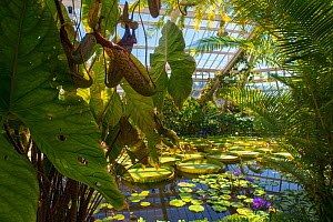 Giant water lily (Victoria amazonica) and Pitcher plants (Nephenthes) in greenhouse, Botanic Garden Meise, Belgium, August 2013.  -  Edwin  Giesbers