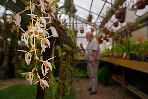 Orchid (Coelogyne swaniana) with botanist in the background, Botanic Garden Leiden, the Netherlands. September 2013.  -  Edwin  Giesbers