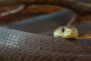 Black mamba (Dendroaspis polylepis) captive; occurs in Africa.  -  Edwin  Giesbers
