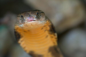 King cobra (Ophiophagus hannah) captive, occurs in Asia. - Edwin  Giesbers