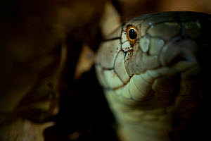 King cobra (Ophiophagus hannah) captive occurs in Asia. - Edwin  Giesbers
