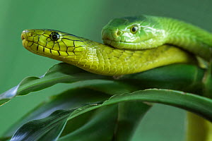 Eastern green mambas (Dendroaspis angusticeps)  captive, from East Africa.  -  Edwin  Giesbers