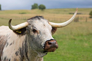 RF - English Longhorn cow, Derbyshire, UK, July. (This image may be licensed either as rights managed or royalty free.)  -  Chris Mattison