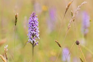RF - Common Spotted Orchid, (Dactylorhiza fuchsii), New Grove Meadows, Monmouthshire, Wales, UK. July. (This image may be licensed either as rights managed or royalty free.)  -  Chris Mattison